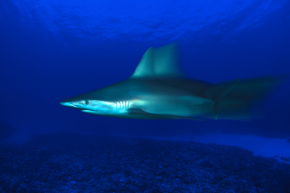 The motion blur of this grey reef shark, Carcharhinus amblyrhynchos, was digitally created with a computer. Hawaii.